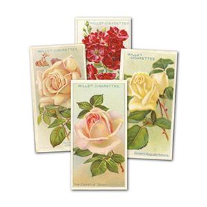 Roses (50) Wills's 1912